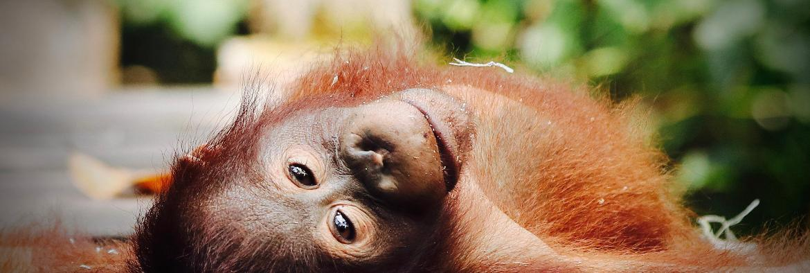 Four fun facts about Orangutans